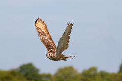 Huge owl flying against blue sky Stock Photography