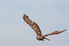 Huge owl flying against blue sky royalty free stock images