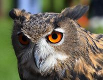 Huge owl with orange eyes and the thick plumage Stock Photography