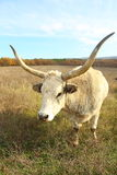 Huge oxen grazing Stock Photography