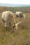 Huge oxen grazing Stock Image