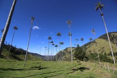 The huge palm trees of Cocora Valley in Colombia. Huge palm trees grow in the Cocora Valley in Colombia, close to the famous coffee town of Salento stock images