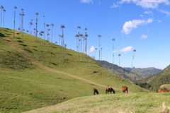 The huge palm trees of Cocora Valley in Colombia. Huge palm trees grow in the Cocora Valley in Colombia, close to the famous coffee town of Salento stock photos
