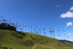 The huge palm trees of Cocora Valley in Colombia. Huge palm trees grow in the Cocora Valley in Colombia, close to the famous coffee town of Salento royalty free stock image