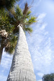 Huge palm trees  under blue sky background Stock Images