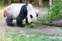 Huge panda a bear Royalty Free Stock Photography