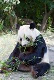 Huge panda a bear Royalty Free Stock Photography