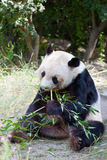 Huge panda a bear Stock Image