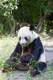 Huge panda Royalty Free Stock Photo