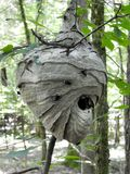 Huge Paper Wasp Nest. A huge Paper Wasp nest in the North Florida Woods. these wasps are black and white and have a very nasty sting. If you leave them alone stock image