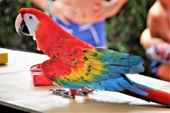 Bright multicolored big parrot on the table in the house, Turkey. stock photos