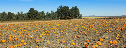 A Huge Patch Full of Fall Pumpkins Royalty Free Stock Image