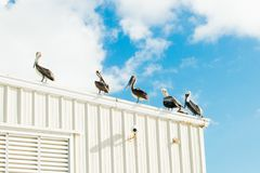 Huge pelicans on the roof of the white building royalty free stock photo