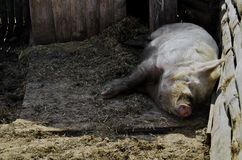 A huge pig sleeping in the barn Royalty Free Stock Photos