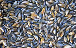 Huge pile of mussels on beach Royalty Free Stock Images