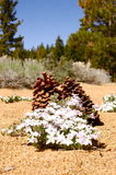 Pine cones and lavender flowers royalty free stock photo