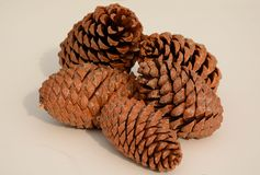 Huge pine cones on pale background. Autumn group of huge scots pinecones royalty free stock photography