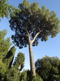 Huge pine in Italy royalty free stock photos