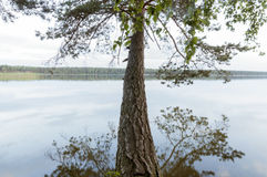 Huge pine over lake Royalty Free Stock Photo