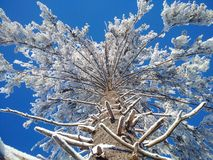 The huge pine with snow. The big pine with snow and blue sky Royalty Free Stock Photos