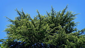 Huge Pine Tree On Sunny Day. Large conifer on a bright blue sky stock footage