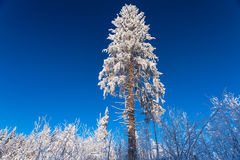The huge pine under the snow in sunny winter day on the forest and blue sky Stock Image