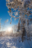 Huge pine in winter forest with deep snow on frosty  day Royalty Free Stock Images