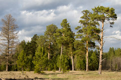 Huge pines are standing in the clearing. Illuminated by the setting sun Royalty Free Stock Photos