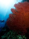 Huge Pink Sea Fan Stock Image