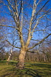 Huge platanus Stock Photography