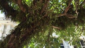 The huge Plumeria tree stock video footage