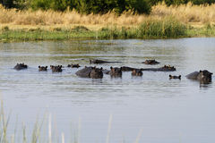 Huge Pod of Hippos. Big families of Hippos congregate in the best pools stock photo