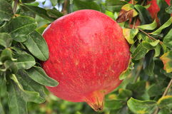 Huge pomegranate in the tree. Huge fresh red pomegranate in the tree, healthy fruit Stock Photography