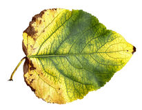 huge poplar leaves Stock Photos