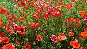 Huge poppy field on a clear sunny day stock video