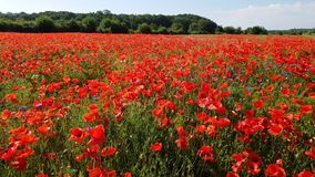 Huge poppy field on a clear sunny day stock footage
