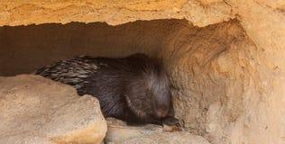 Huge Porcupine Royalty Free Stock Photo
