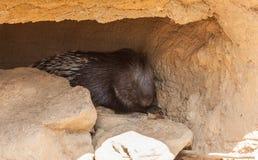 Huge Porcupine Stock Photos