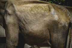 Huge and powerful African elephant, skin detail Stock Images