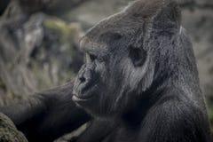 Huge and powerful gorilla, natural environment Stock Image