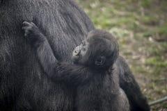 Huge and powerful gorilla, natural environment Royalty Free Stock Photos