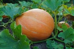 Huge pumpkin in garden Royalty Free Stock Photo