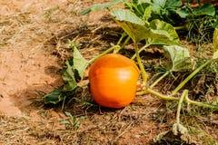 Huge pumpkin in garden. Royalty Free Stock Photo