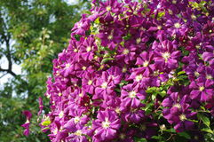 Huge purple Clematis. Single huge purple Clematis plant with multiple flower heads Stock Image