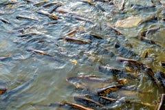 Huge quantity of fish river canal of Bangkok, Thailand. Huge quantity of catfish in Chao Phraya river, Bangkok, Thailand Stock Photography
