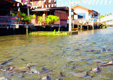 Huge quantity of fish in river canal of Bangkok, Thailand Royalty Free Stock Photos