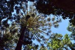 Huge rainforest tree in Bunya National Park. Queensland Australia Stock Image