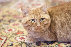 Huge red cat. Looking to the right on colorful carpet Stock Photos