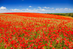 Huge red poppy flowers field Stock Images