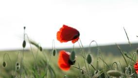 Huge Red Poppy Flowers Is Very Beautiful stock video